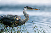 Great Blue Heron (Ardea herodias), Vermillion Lakes, near Banff, Alberta, Canada                               Photo: Peter Llewellyn