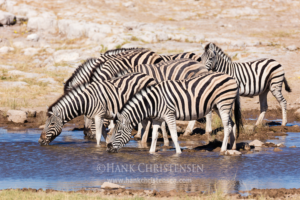 A herd of plains zebra line up at a waterhole for a morning drink, Etosha National Park, Namibia.