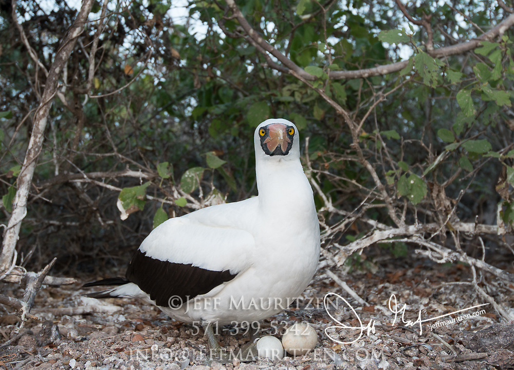 A Nazca booby sits on its nest with its eggs on Genovesa island in the Galapagos, Ecuador.