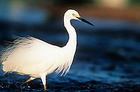 White Egret wading in water