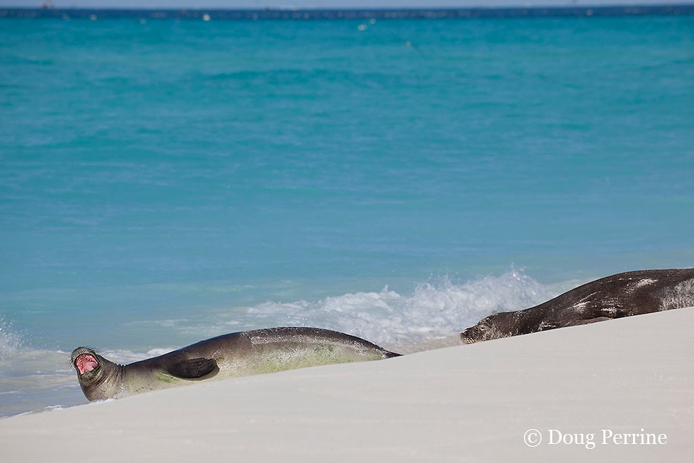 Hawaiian monk seal, Monachus schauinslandi, growling or vocalizing,<br /> Critically Endangered Species, Sand Island, Midway, Atoll, Midway Atoll National Wildlife Refuge, Papahanaumokuakea Marine National Monument, Northwest Hawaiian Islands ( Central North Pacific Ocean )