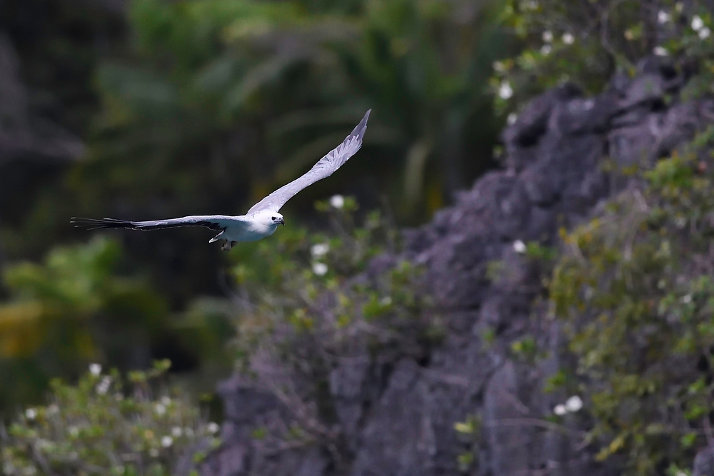 "White-bellied sea eagle, (Haliaeetus leucogaster), Triton Bay, Mainland New Guinea, Western Papua, Indonesian controlled New Guinea, on the Science et Images ""Expedition Papua, in the footsteps of Wallace"", by Iris Foundation"