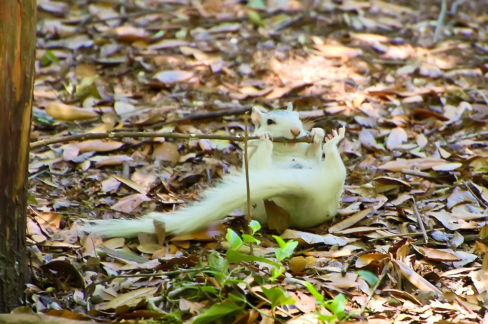 This white fox squirrel was showing off and having a great time doing flips and attacking twigs! We got quite a laugh from this little guy!