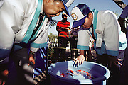 "Judges from Japan evaluating contestants at a Koi fish show in California. Koi are a variety of the common carp, Cyprinus carpio. Today Koi are bred in nearly every country and considered to be the most popular fresh-water ornamental pond fish. They are often referred to as being ""living jewels"" or ""swimming flowers"". If kept properly, koi can live about 30-40 years. Some have been reportedly known to live up to 200 years. The Koi hobbyists have bred over 100 color varieties. Every Koi is unique, and the patterns that are seen on a specific Koi can never be exactly repeated. The judging of Koi at exhibitions has become a refined art, which requires many years of understanding the relationship between color, pattern, size and shape, presentation, and a number of other key traits. Prize Koi can cost several thousand dollars  USA. MODEL RELEASED."