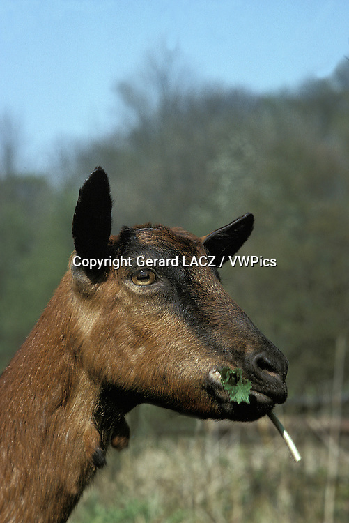 Alpine Chamoisee Domestic Goat eating Grass, a French Breed