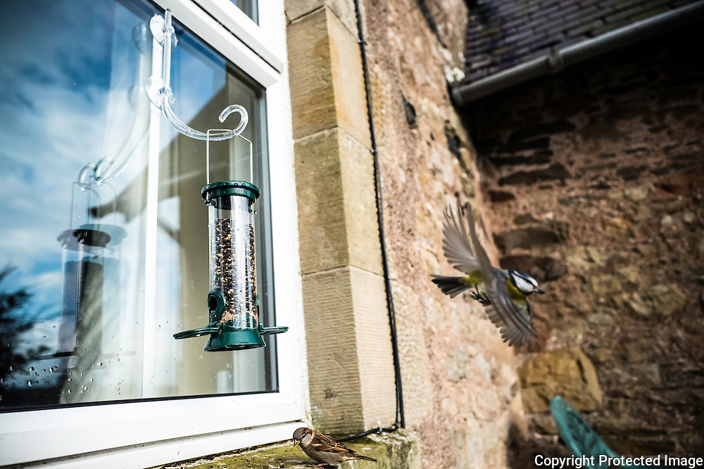Oxnam, Jedburgh, Scottish Borders, UK. 14th October 2016. A blue tit in flight after feeding from a bird feeder on a cottage window in the Scottish Borders.