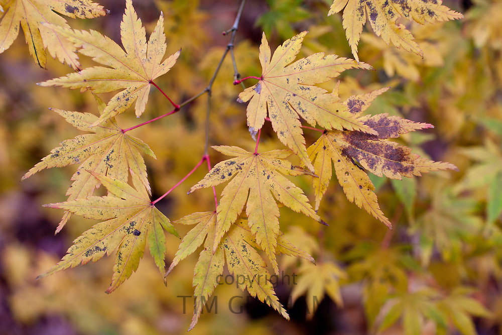 Acer palmatum aureum in autumn colour among Maple trees in The Fall in the Cotswolds, UK