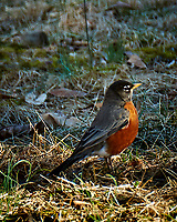 Early American Robin scout checking out if winter is over. Image taken with a Fuji X-T1 camera and 100-400 mm OIS lens (ISO 200, 400 mm, f/5.6, 1/80 sec).