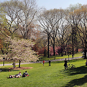 People relax underneath a blossoming tree during a warm spring day in Central Park, Manhattan, New York, USA. Photo Tim Clayton