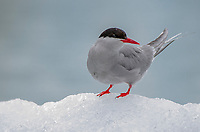 Arctic Tern on ice from the South Sawyer Glacier in Tracy Arm - Fords Terror Wilderness, Southeast Alaska.