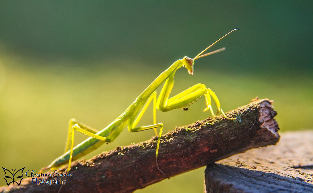 Praying Mantis On Log Image for sale.<br /> The English common name for any species in the order is &quot;praying mantis&quot;, because of the typical &quot;prayer-like&quot; posture with folded fore-limbs, although the eggcorn &quot;preying mantis&quot; is sometimes used in reference to their predatory habits. In Europe and other regions, the name &quot;praying mantis&quot; refers to only a single species, Mantis religiosa. The closest relatives of mantises are the termites and cockroaches (order Blattodea). They are sometimes confused with phasmids (stick/leaf insects) and other elongated insects such as grasshoppers and crickets.