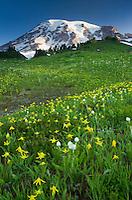 Mount Rainier from Paradise wildflowers meadows, Mount Rainier National Park
