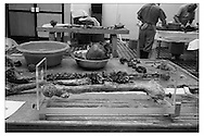 A femure (thigh bone) set up for measurement, as part of the attempt to identify a body. The length of the femur indicates approximate age. UN forensic investigators at the morgue in Orahovac/Rahovec, Kosovo, are attempting to identify the body, possibly a victim of war crimes by the Albanian Kosovo Liberation Army.