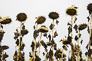ripening sunflowers