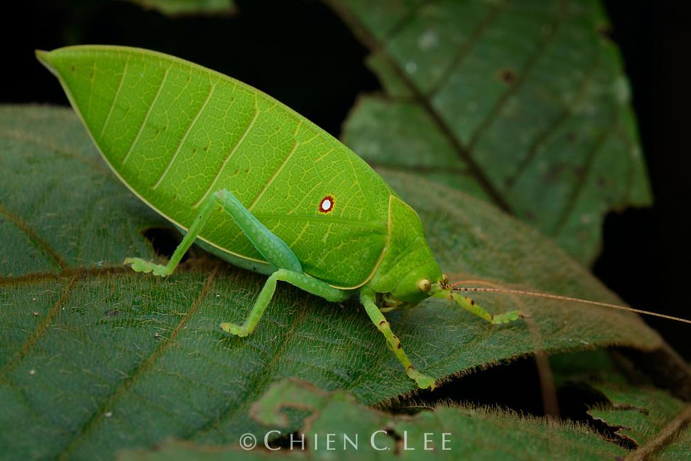 Leaf katydid (Cratioma sp.). Sarawak, Malaysia.