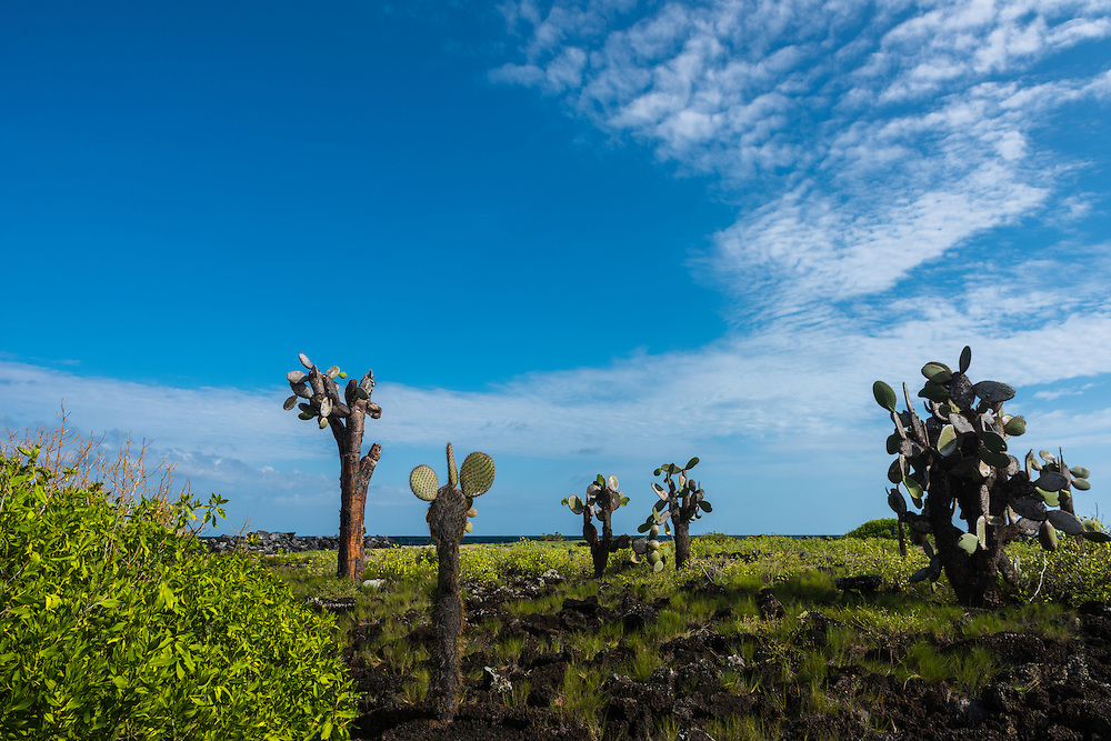 The unique landscape of the Galapagos with in front a couple of Opunia tree, which are endemic to the Galapagos, Santa Cruz, Galapagos, Ecuador.