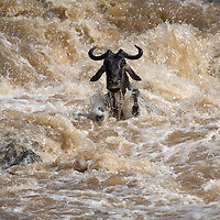 Africa, Kenya, Masai Mara Game Reserve, Wildebeest (Connochaetes taurinus) herd swimming across Mara River during migration