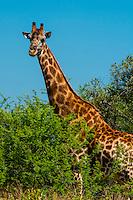 Giraffe, Dinokeng Game Reserve, near Pretoria (Tshwane), South Africa.