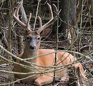 White tail buck in the cedar woods