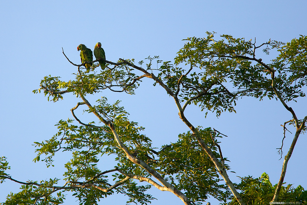 A pair of Red-lored Amazon Parrots preen in the day's last light.