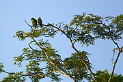 A pair of red-lored amazon parrots (Amazona autumnalis) preen in the warm late day sun. Tikal, Guatemala.