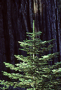 Sequoia Tree, Young Fir Tree, fir tree, Sequoia and Kings Canyon National Parks, California