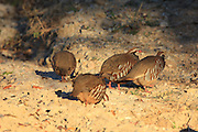 Chukar Partridge Pick Up Grit on a Rural Road