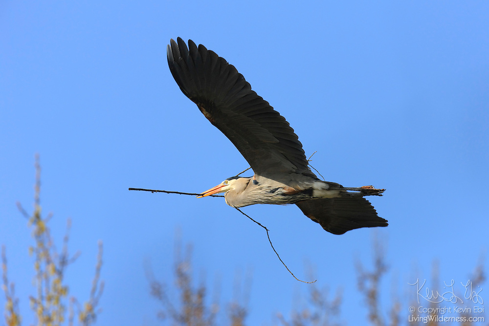 A great blue heron (Ardea herodias) flies with a large stick in its beak to build its nest in the Black River Riparian Forest in Renton, Washington.