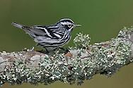 Adult male breeding<br /> Galveston Co., TX<br /> May 2005
