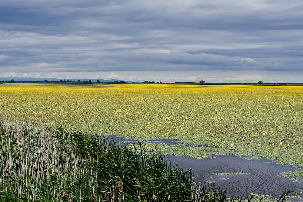 Landscape with Yellow floating heart (Nymphoides peltata) fields, Hortobagy National Park, Hungary