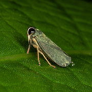 Coelidiinae is a subfamily of leafhoppers in the family Cicadellidae.  Khao Luang National Park, Thailand.