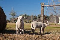 DOS CORDEROS BLANCOS EN UNA GRANJA, SAN ANTONIO DE ARECO, PROVINCIA DE BUENOS AIRES, ARGENTINA (PHOTO © MARCO GUOLI - ALL RIGHTS RESERVED)