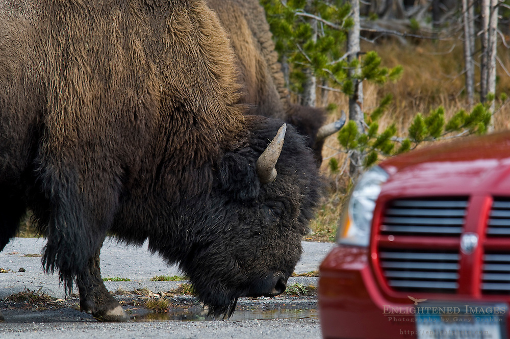 American Bison Buffalo next to tourist car in Yellowstone National Park, Wyoming