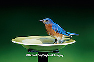 01377-14407 Eastern Bluebird (Sialia sialis) male eating mealworms at feeder Marion Co.  IL