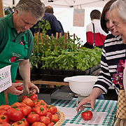 Seattle, Washington, University District outdoor farmers market, customer reaches for red ripe tomato on table<br />