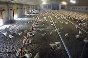 Nederland, St. Anthonis, 6-2-2013De kippen van deze kippenboer hebben een overdekte ren waardoor zij altijd naar buiten kunnen. Deze kip, de Hubbart, wordt gehouden als vleeskip en als tussenstap tussen de biologische kip en de bio industrie kip.Zij kunnen naar buiten en krijgen langer de tijd om te groeien. Hij wordt verkocht in de supermarkt als de Volwaardkip. Het idee wordt ondersteund door de dierenbescherming. Foto: Flip Franssen/Hollandse Hoogte