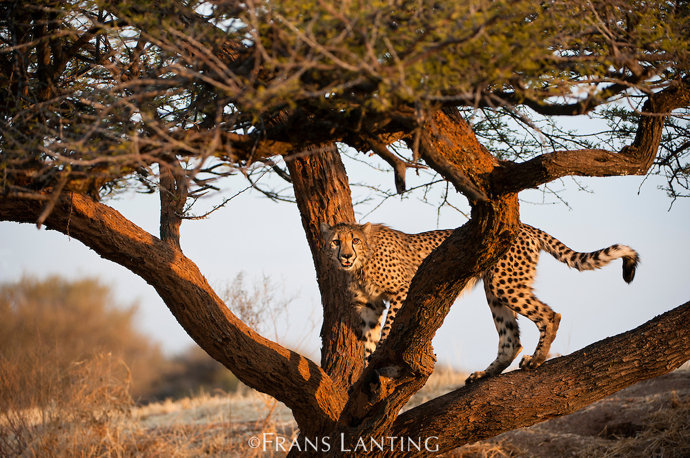 Cheetah in tree, Acinonyx jubatus, Cheetah Conservation Fund, Namibia