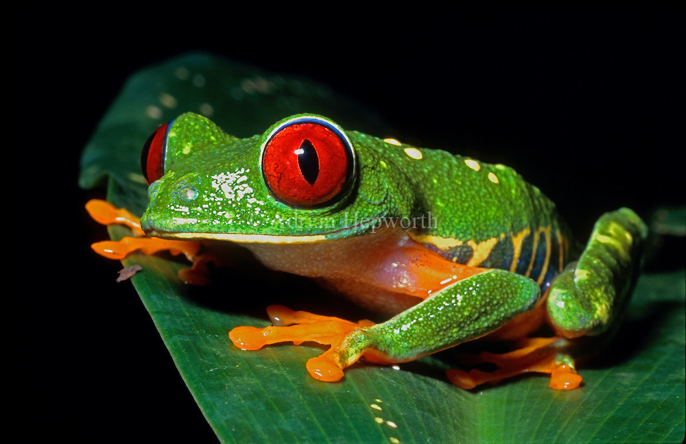 Red-eyed Tree Frog (Agalychnis callidryas) in caribbean rainforest. Tortuguero National Park, Costa Rica. <br />