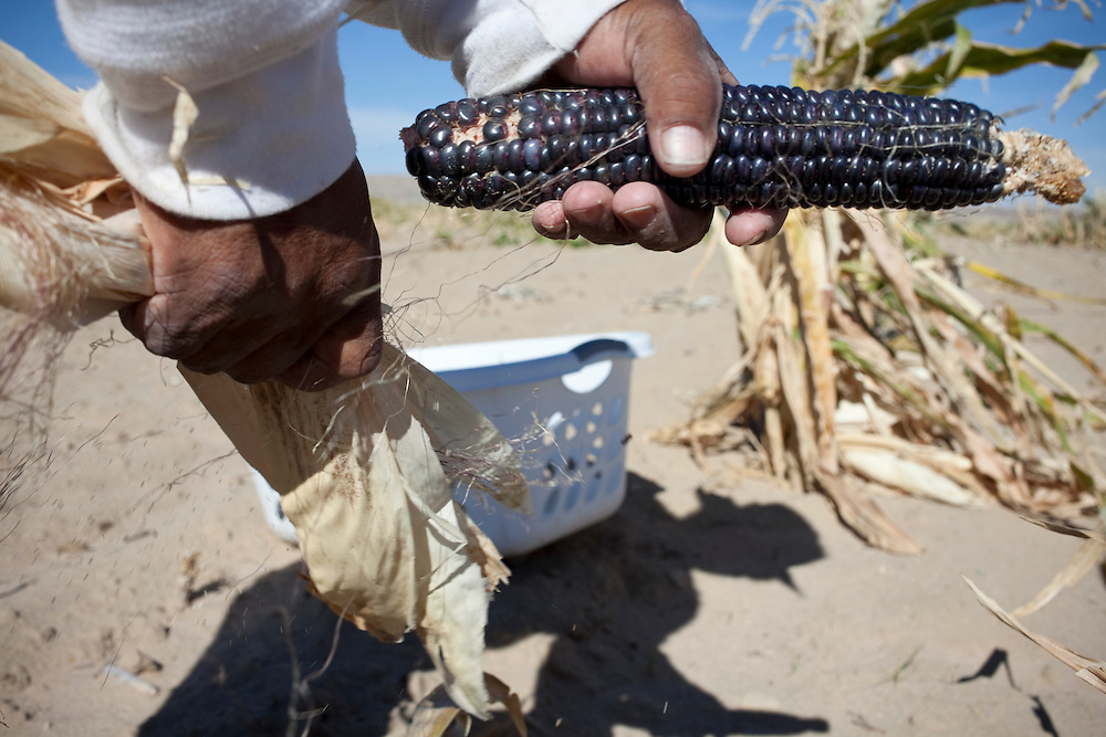 """ We have six different colors of corn. We have the yellow, blue, red, white, coma, which is a purple and sweet corn.  Blue and white corn are the most important.""  Watson said.  ""White corn is used for making hominy stew.  We make stew for all the ceremonials, to bring all the people together."""