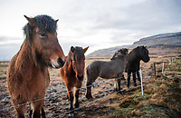 Alftroo Guesthouse - our home for a few day in Iceland.  Visiting with our hosts Icelandic horses.   ©2019 Karen Bobotas Photographer