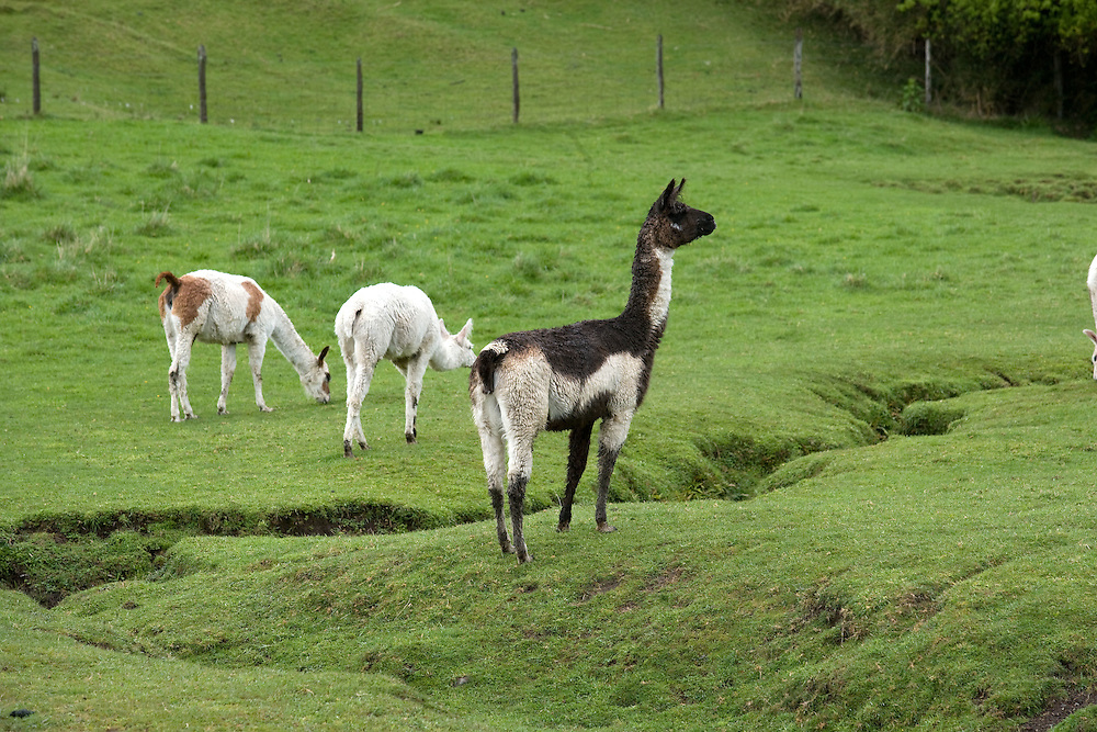 Llamas, Lake District, Chile