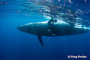 Bryde's whale, Balaenoptera brydei or Balaenoptera edeni, slides past photographer Brandon Cole after making a sudden turn to avoid hitting a marlin feeding on a baitball of sardines, off Cabo San Lucas, Baja California, Mexico ( Eastern Pacific Ocean ) #4 in sequence of 5; MR 399