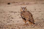 Pharaoh eagle-owl (Bubo ascalaphus) is a species of owl in the family Strigidae. At 46–50 centimetres (18–20 in) long, the Pharaoh eagle-owl is one of the smaller eagle-owl species. It is an attractive bird of prey, with striking, large orange-yellow eyes and mottled plumage. The head and upperparts are tawny and densely marked with black and creamy-white streaks and blotches, while the underparts are pale creamy-white, with black streaks on the upper breast and fine reddish-brown vermiculations on the lower breast and belly. The face has the disc-like form typical of most owls, defined by a dark rim, the robust bill is black and hooked, and the head is crowned with small ear tufts. There are two recognised subspecies of the Pharaoh eagle-owl, the Pharaoh eagle-owl (B. a. ascalaphus) and the desert eagle-owl (B. a. desertorum), the latter being smaller and paler with sandier colouration Photographed i n Israel in December .