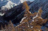 08.11.2008.European Larch (Larix decidua) in alpine landscape..Gran Paradiso National Park, Italy