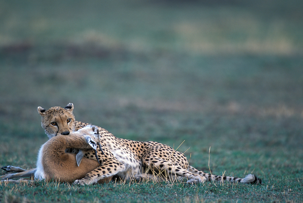 Africa, Kenya, Masai Mara Game Reserve, Cheetah (Acinonyx jubatas)holds Thomson's Gazelle by throat after hunt