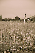 Old farm house and tall grass on the north shore of Flathead Lake