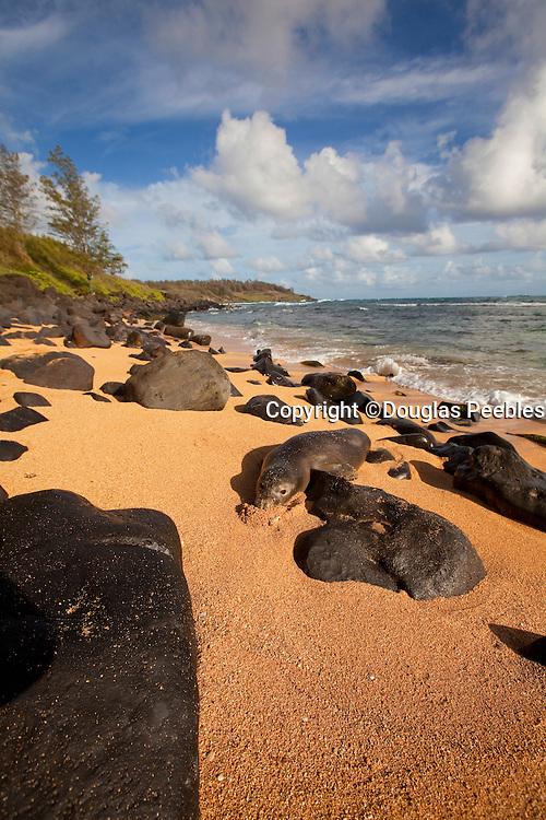 Monk seal, Aliomanu Beach, Kauai, Hawaii