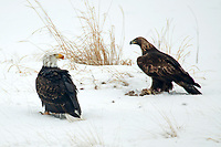An immature and a mature Bald Eagle on a snowy day feeds on whats left of the rabbit they caught.