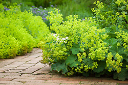 Alchemilla mollis lining the brick paths in Mrs Winthrops garden at Hidcote Manor