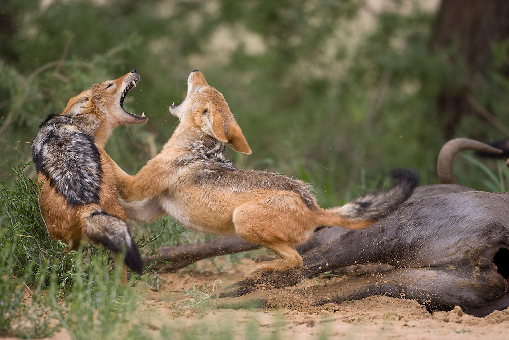 South Africa, Kgalagadi Transfrontier Park,  Black Backed Jackals (Canis mesomelas) fighting at carcass of dead Wildebeest (Connochaetes taurinus) in Kalahari Desert